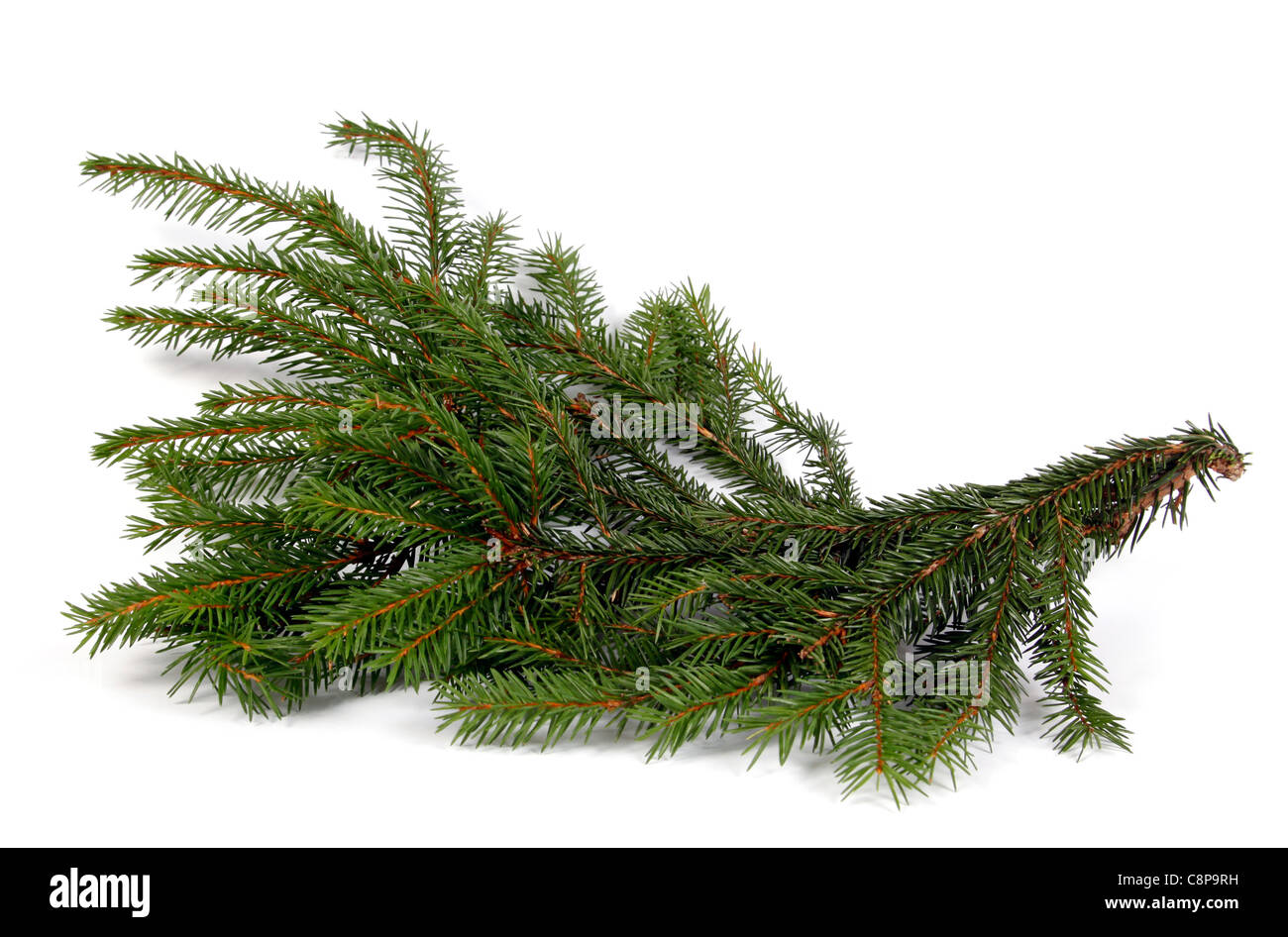 The big and thick twig of the spruce - Stock Image