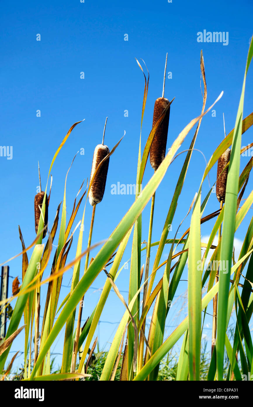 Beautiful green cattails against bright blue sky vertical. - Stock Image
