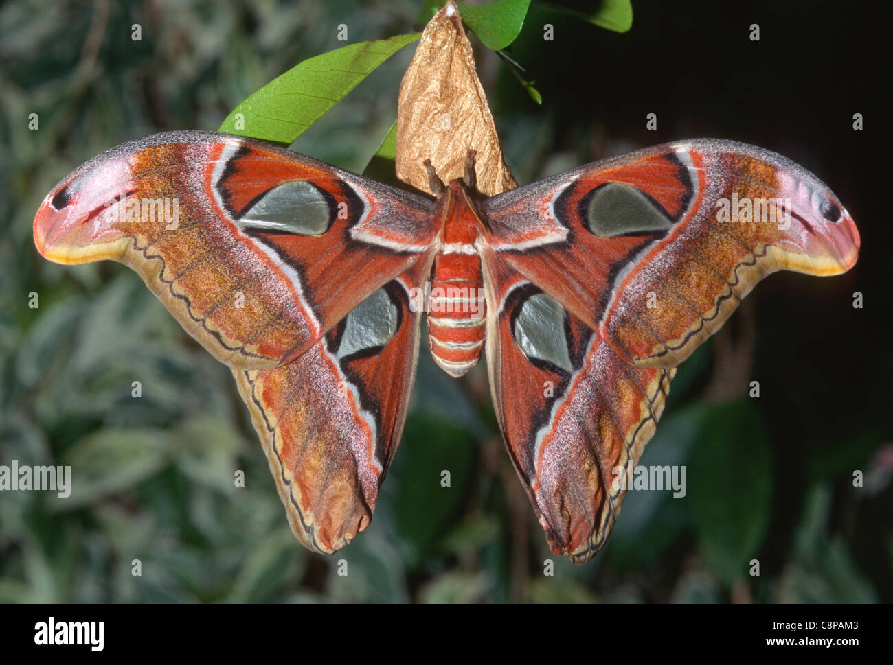 ATLAS MOTH (Attacus atlas), are the largest moths in the world with a wingspan from 10-12 inches, native to southeast - Stock Image