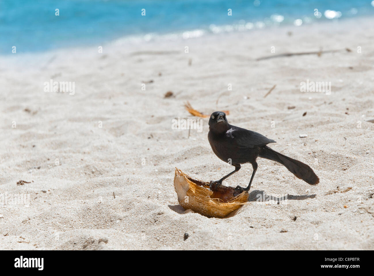 Raven with coconut shell - Stock Image