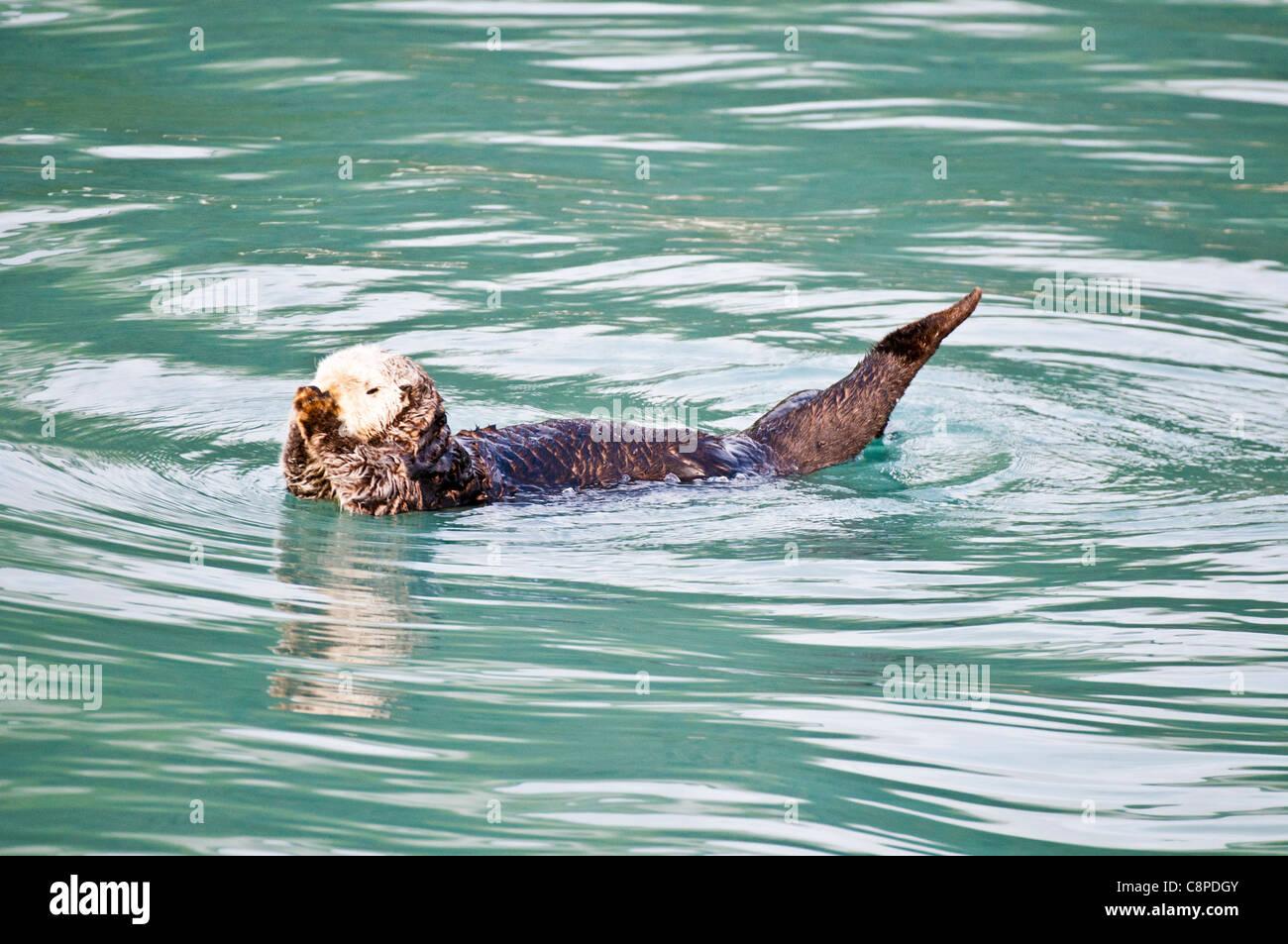 Sea Otter floating in ocean off Seward, Alaska - Stock Image