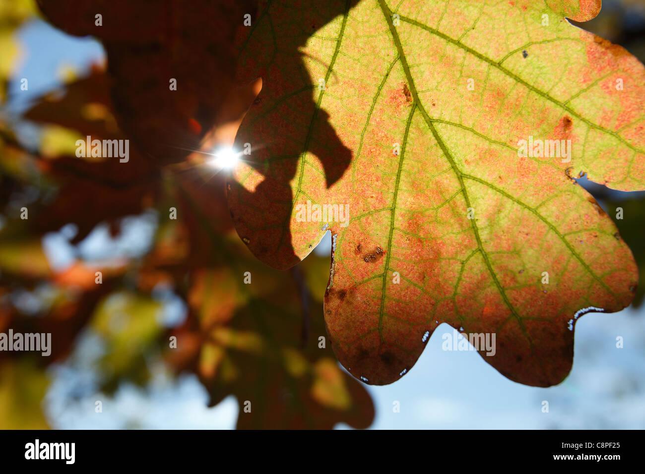 New England, oak leaf autumn foliage Stock Photo