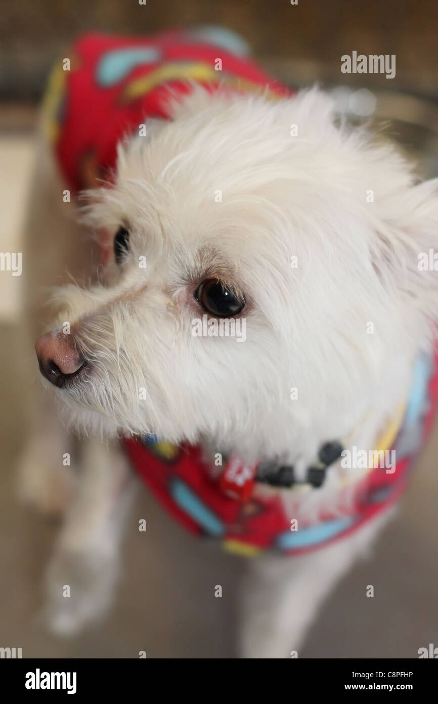Walking Maltese Terrier with a Jacket - Stock Image