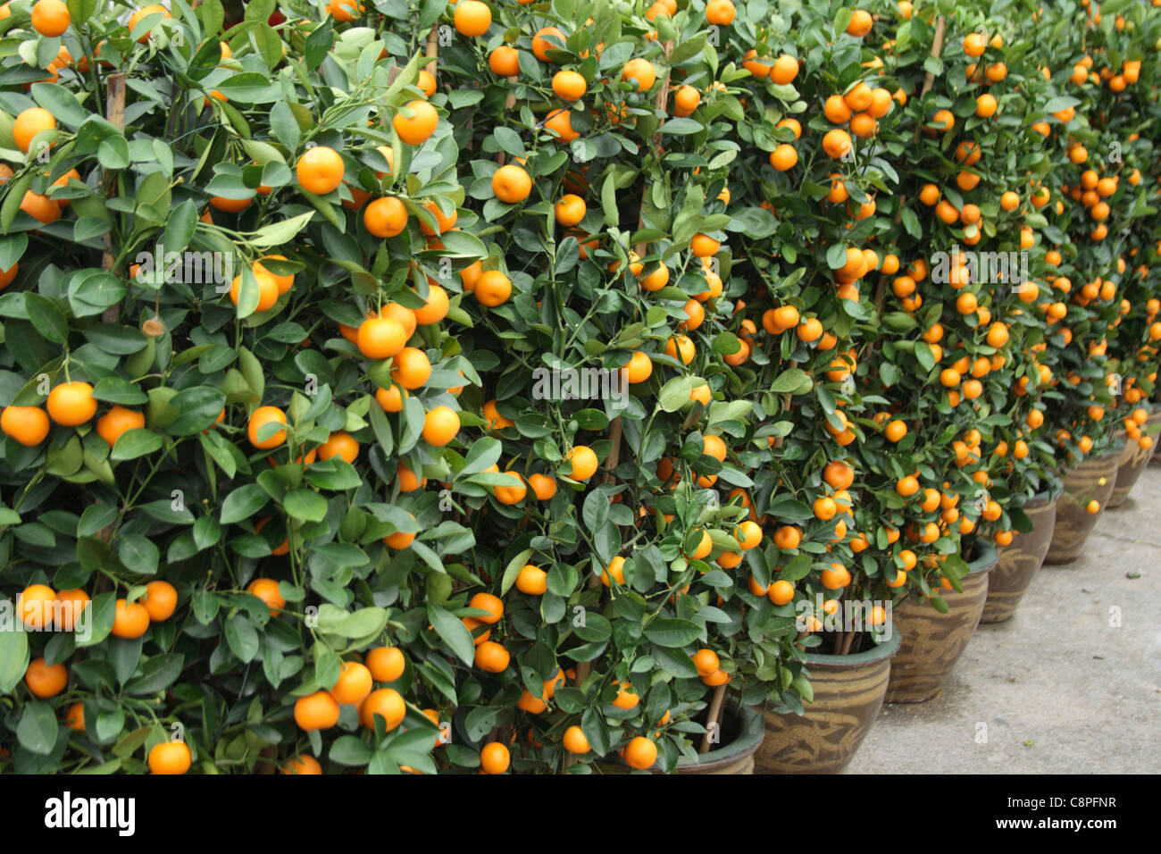 prosperous lime trees for chinese new year decoration - Stock Image