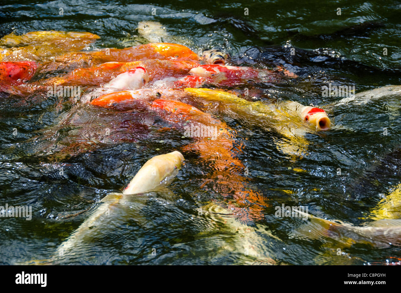 Koi pond pool stock photos koi pond pool stock images for Koi pool water
