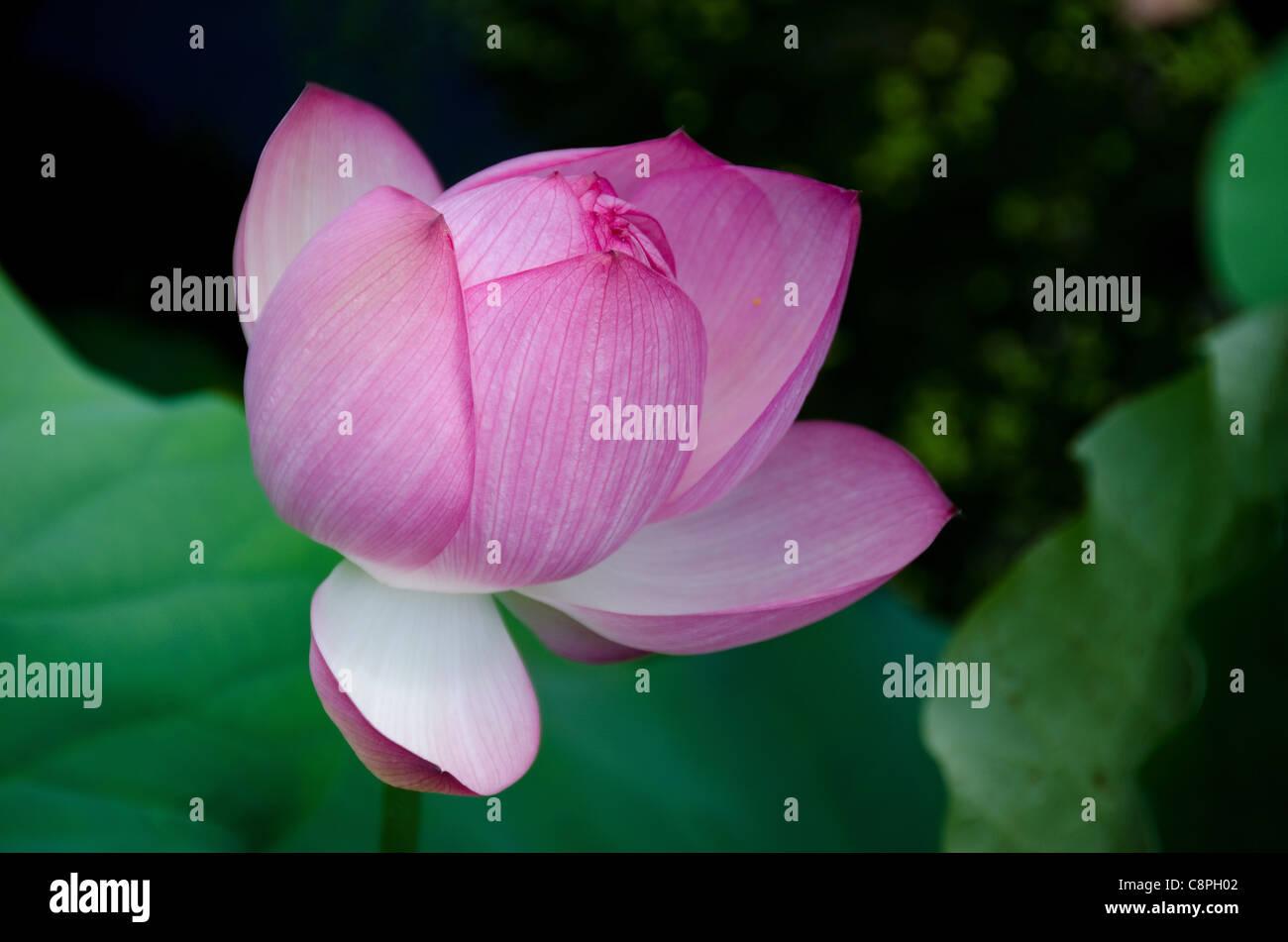 Closed lotus flower stock photos closed lotus flower stock images detail of a beautiful pink lotus flower with closed petals nelumbo nucifera stock image izmirmasajfo