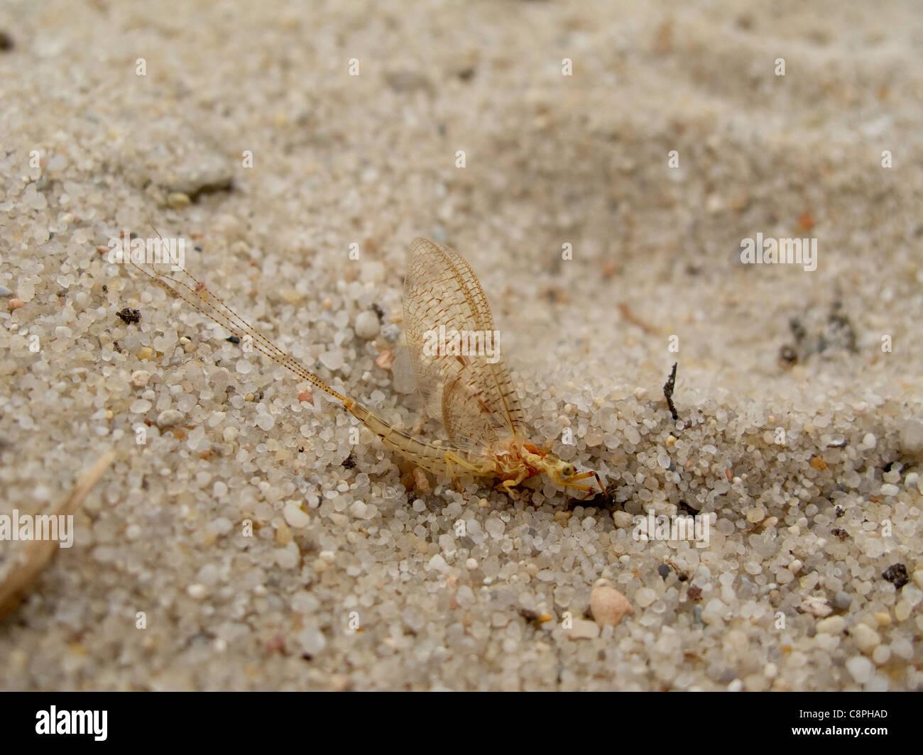 Male of an adult mayfly, Ephemera vulgata, sitting on sand - Stock Image