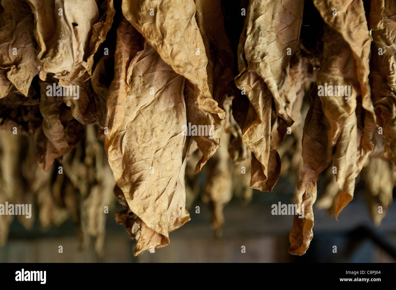 Cuban tobacco leaves drying in barn, Vinales, Cuba - Stock Image