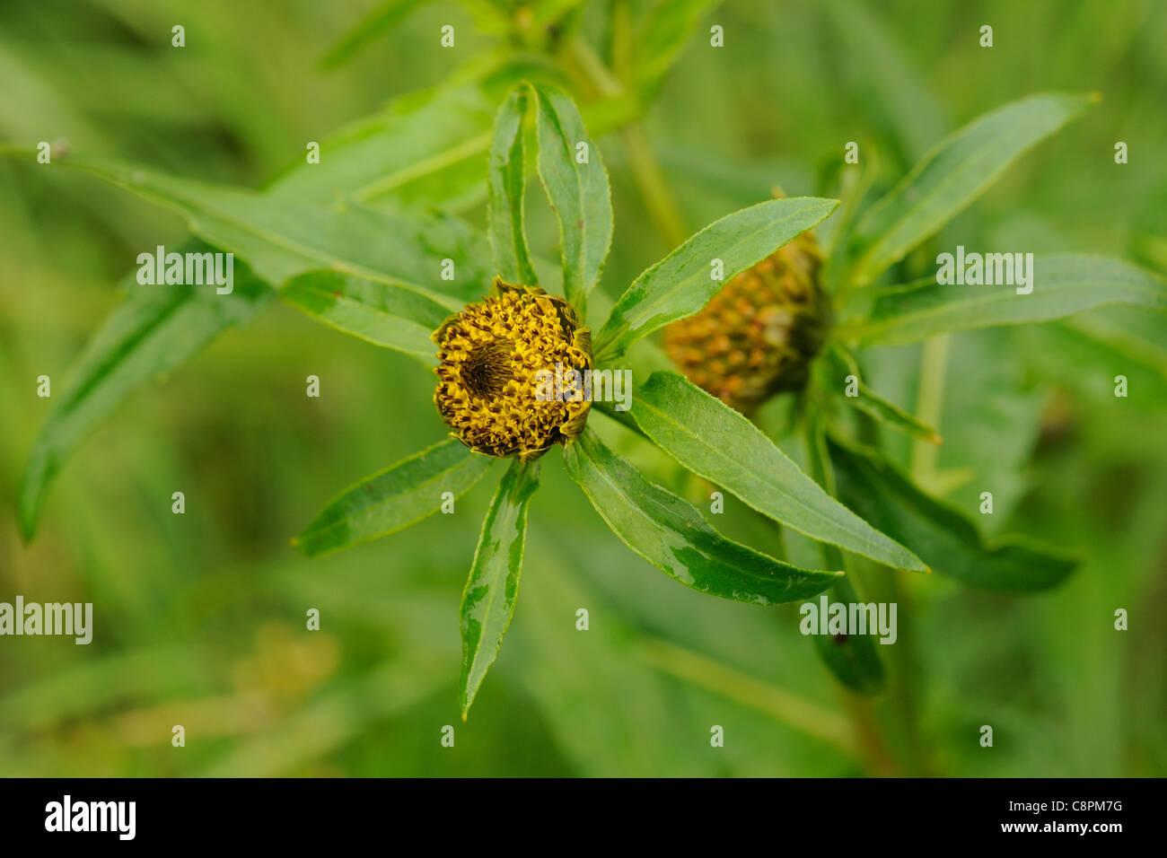 Nodding Bur-marigold, bidens cernua - Stock Image