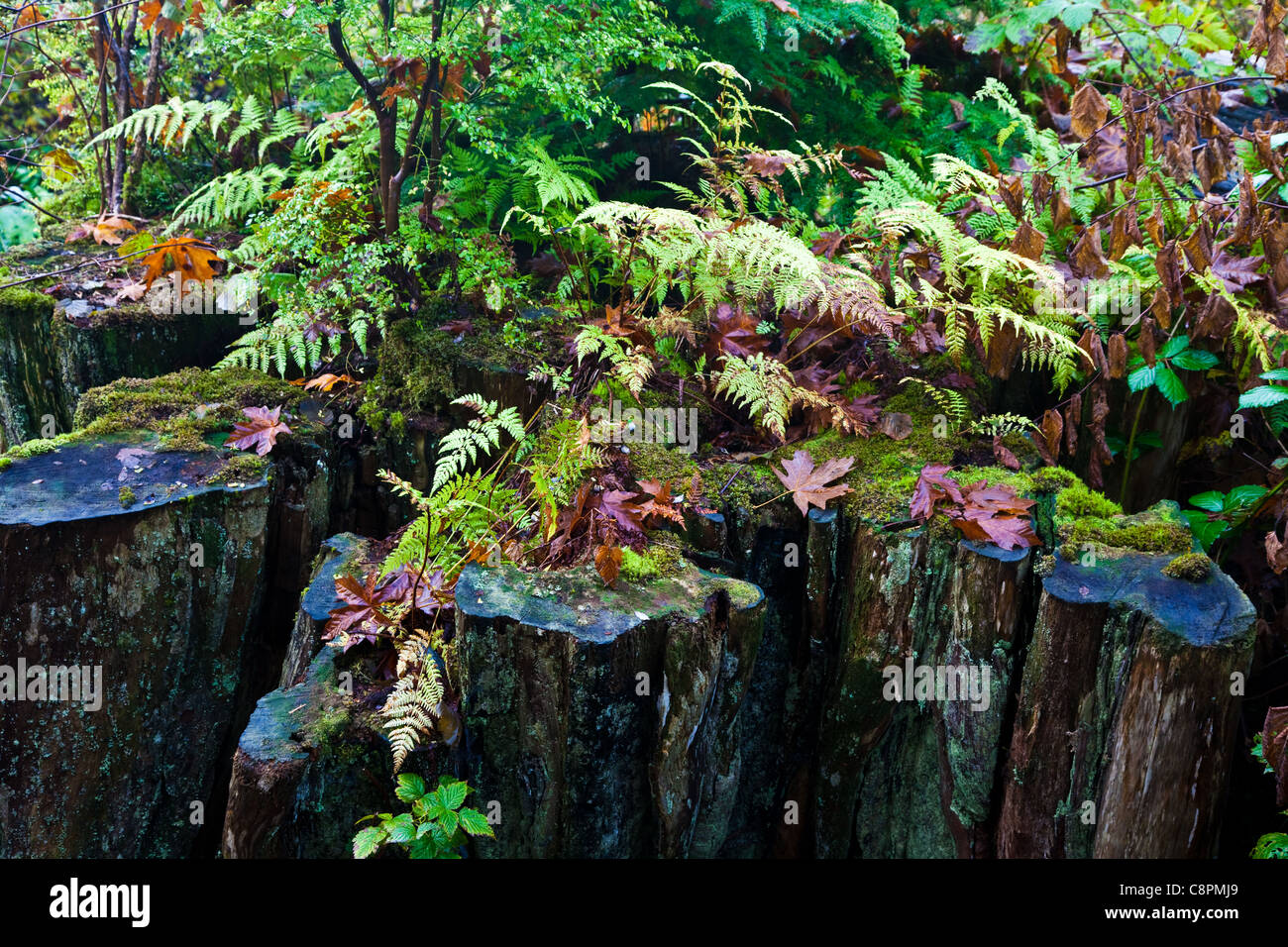 A stump of a logged Western Red Cedar now host to new growth, British Columbia, Canada Stock Photo