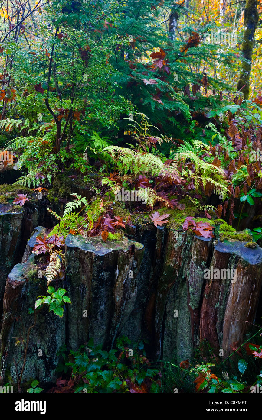 The stump of a logged Western Red Cedar tree hosting new growth for a sustainable forest, British Columbia, Canada Stock Photo