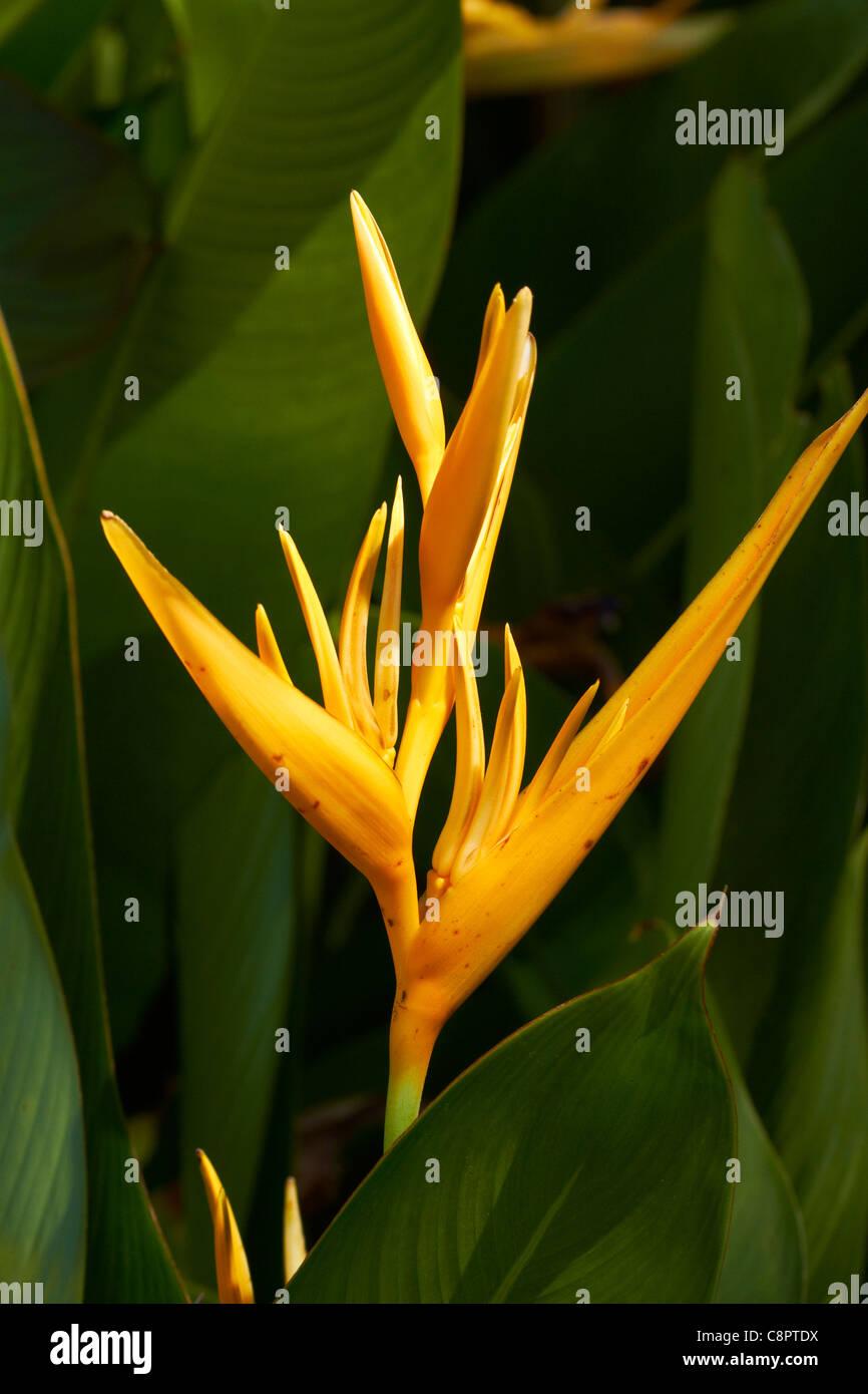 Bird of Paradise flower, Adelaide River War Cemetery, Adelaide River, Northern Territory, Australia - Stock Image