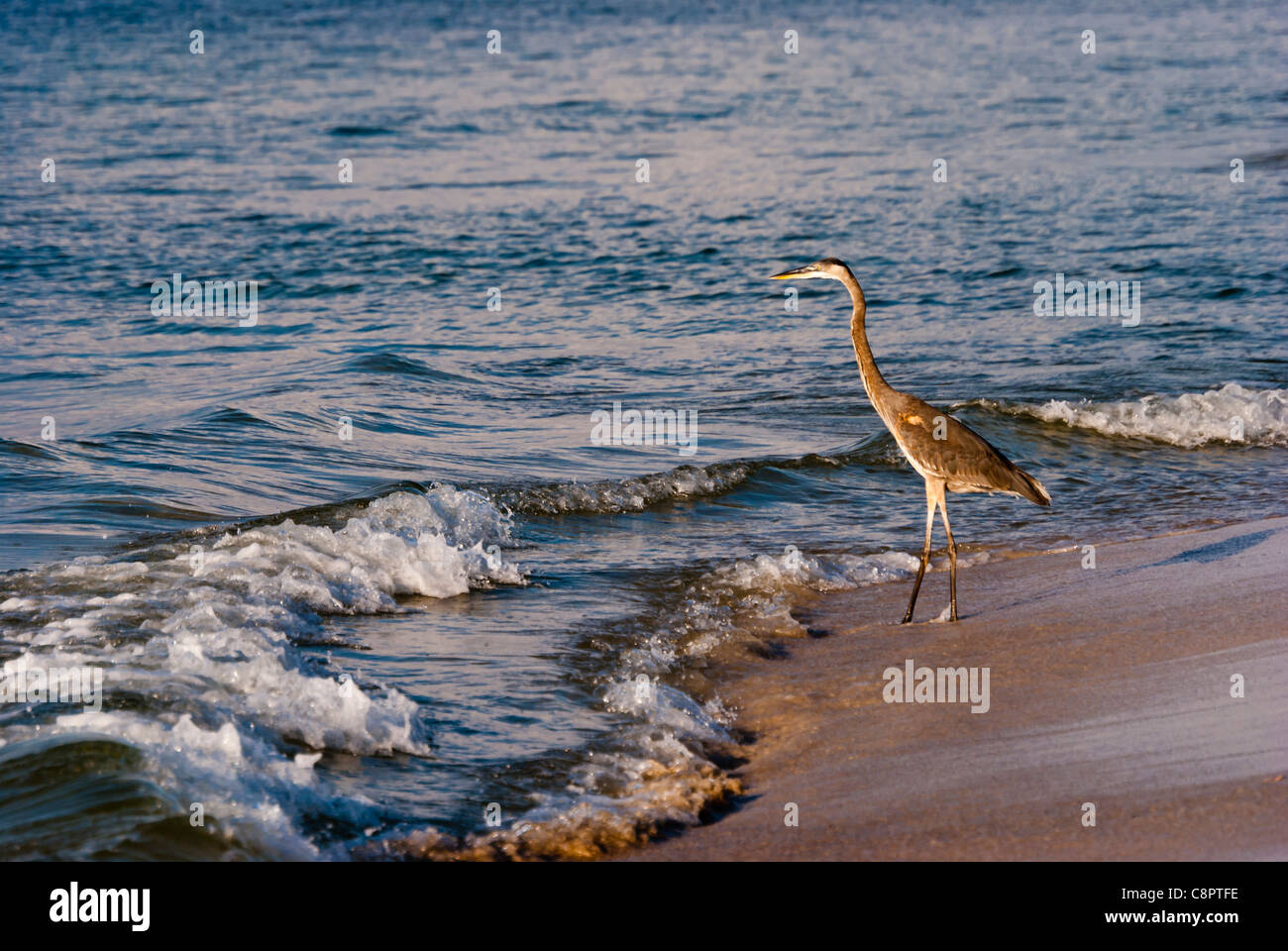 Heron hunting for a meal on the Gulf Coast shores - Stock Image