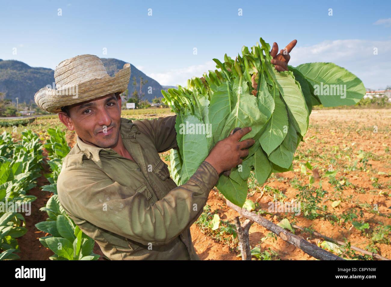PINAR DEL RIO: VINALES TOBACCO FARMER WORKING IN TOBACCO FIELDS - Stock Image