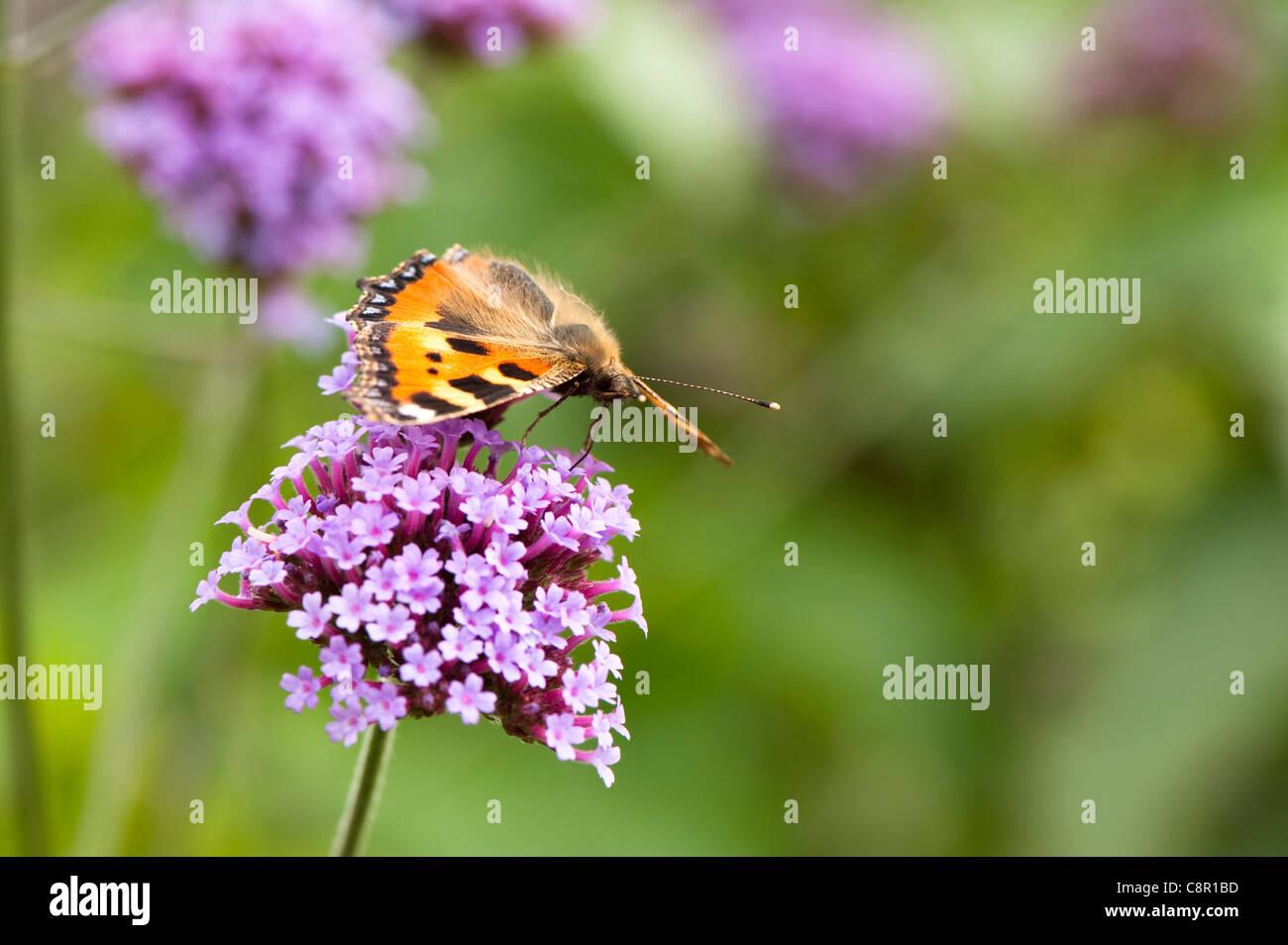 Small Tortoiseshell Butterfly, Aglais urticae, feeding on Verbena bonariensis - Stock Image