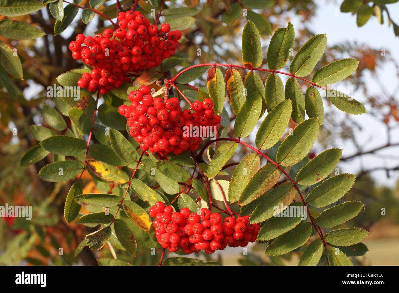 Autumn view of red berries on mountain ash tree in northern Minnesota, Sorbus americana. - Stock Image