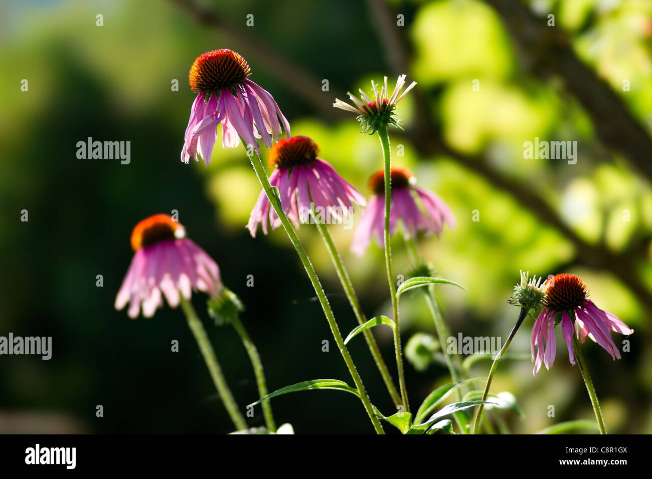 Echinacea purpurea, or Eastern purple coneflower - Stock Image