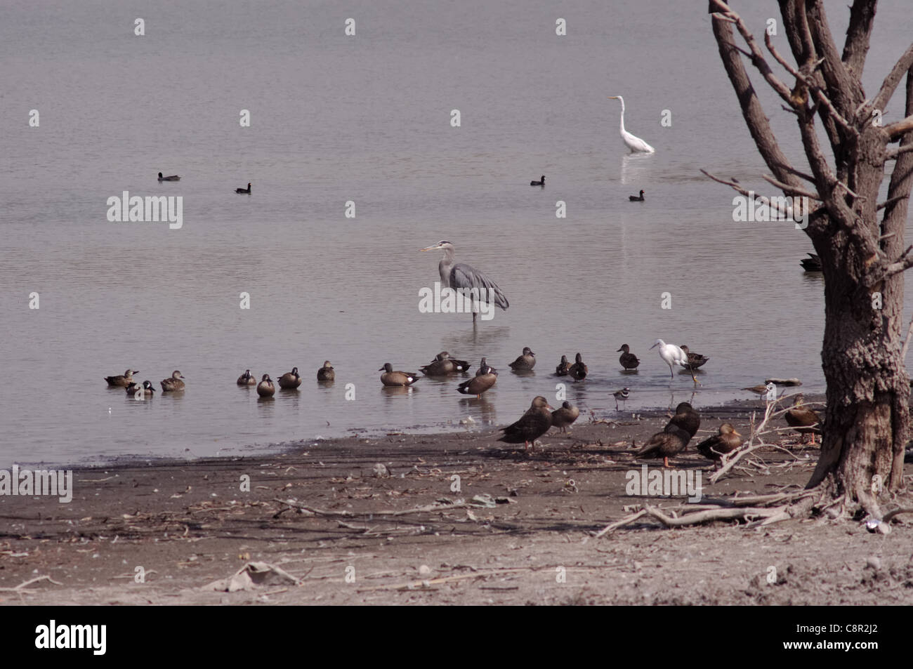 Group of migratory birds, mainly ducks and herons, in a lake in central Mexico during winter - Stock Image