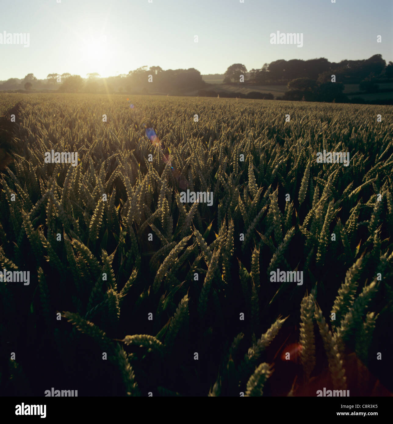 Wheat crop with ripening ears and summer sun setting behind, Devon, July - Stock Image