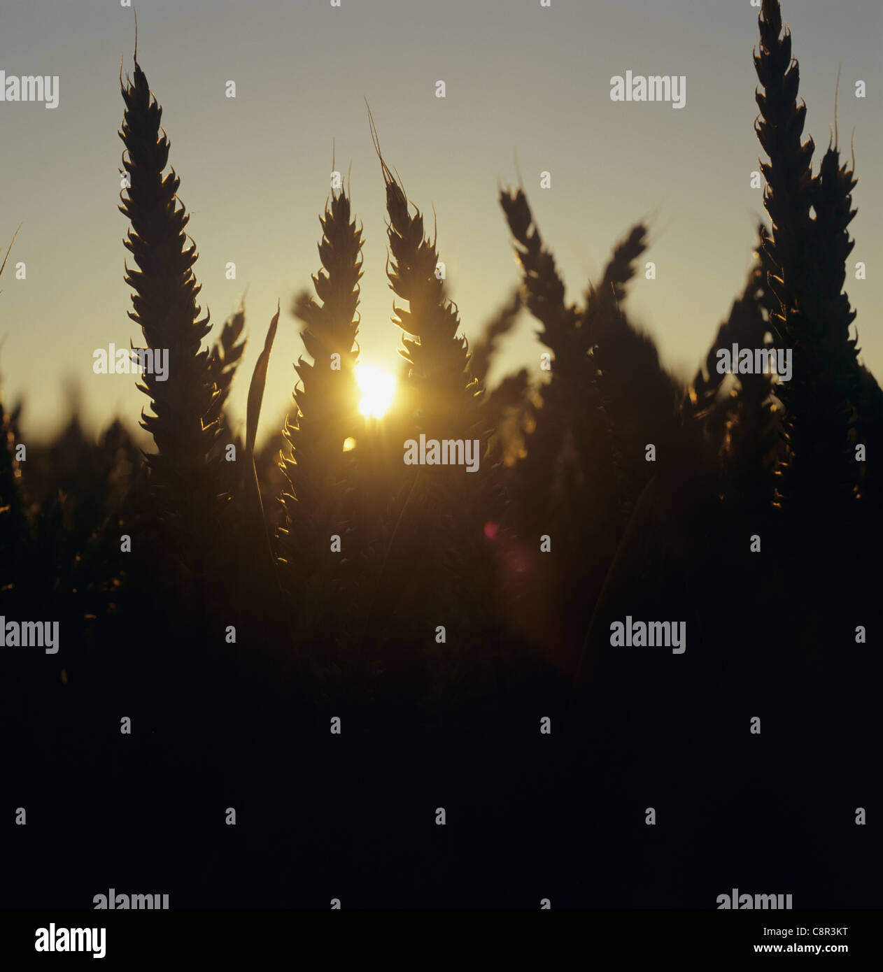 Ears of wheat with the sun setting behind them on a fine summer evening in July - Stock Image