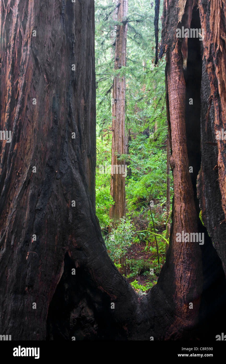 CA01008-00...CALIFORNIA - Towering redwood tree showing signs of having survived an old fire in Muir Woods National - Stock Image