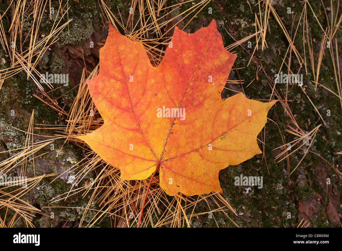 A fallen maple leaf amidst pine needles - Itasca State Park, Minnesota. - Stock Image