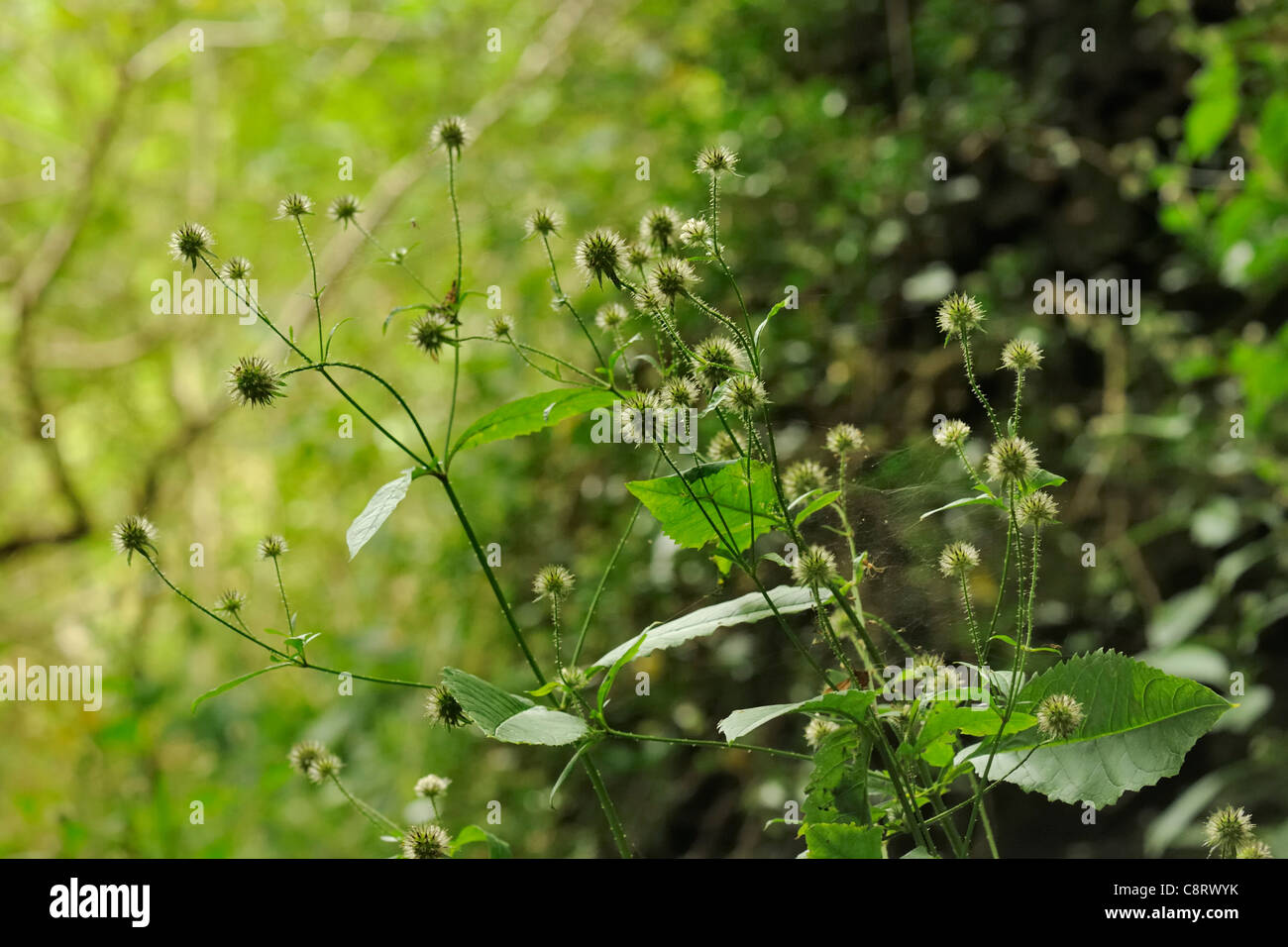 Small Teasel, dipsacus pilosus - Stock Image