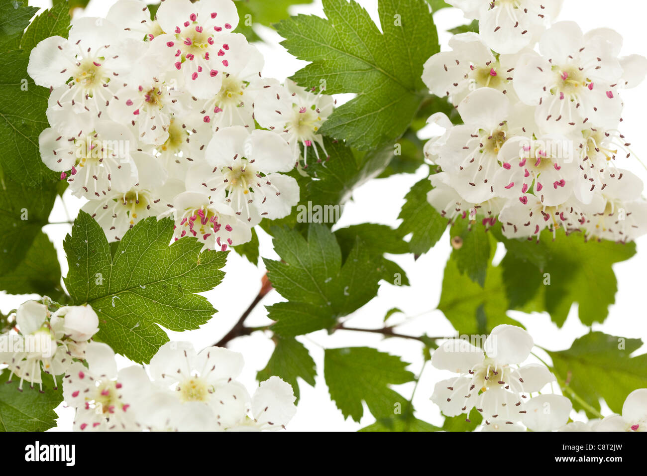 Hawthorn or thornapple in bloom with white flower heads - Stock Image