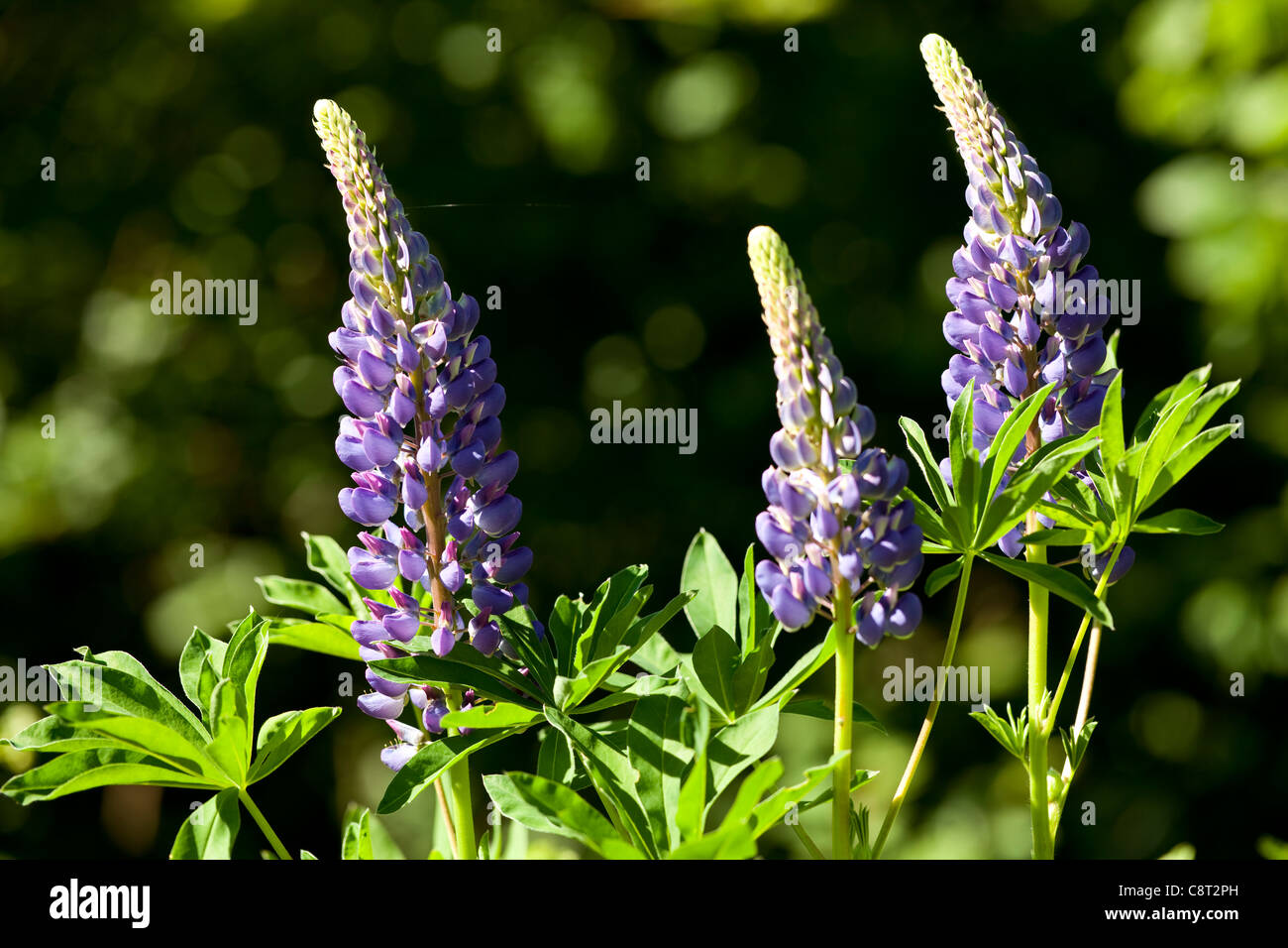 violet and white full-blown lupin on meadow Stock Photo
