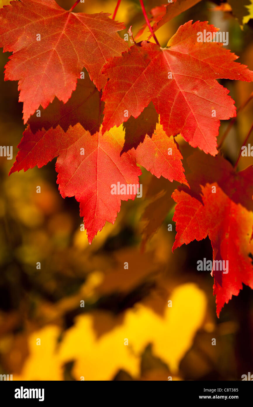 colourful autumn clon's leaf as background - Stock Image