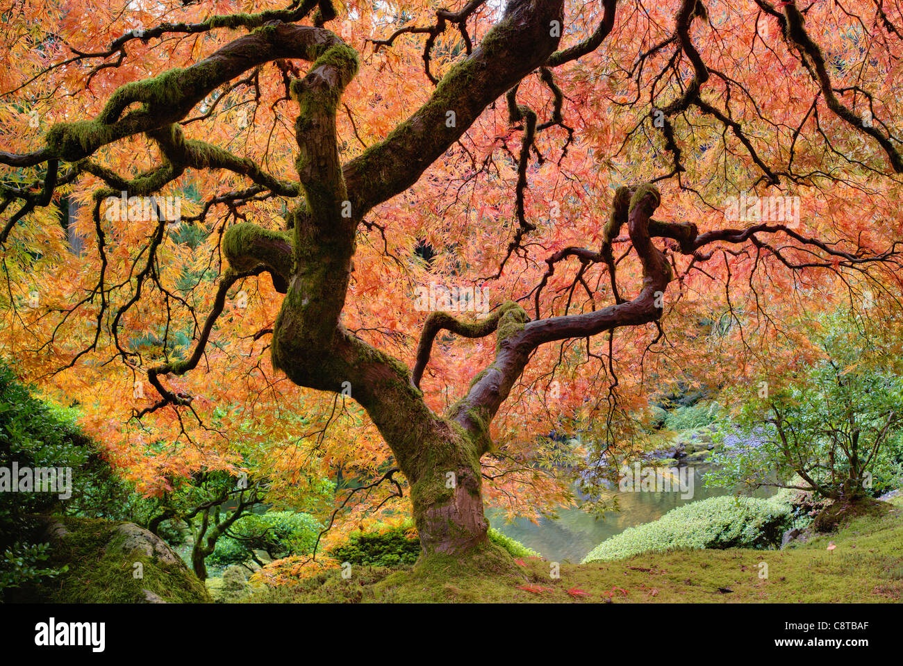 Old Japanese Maple Tree at Japanese Garden in Autumn Stock Photo