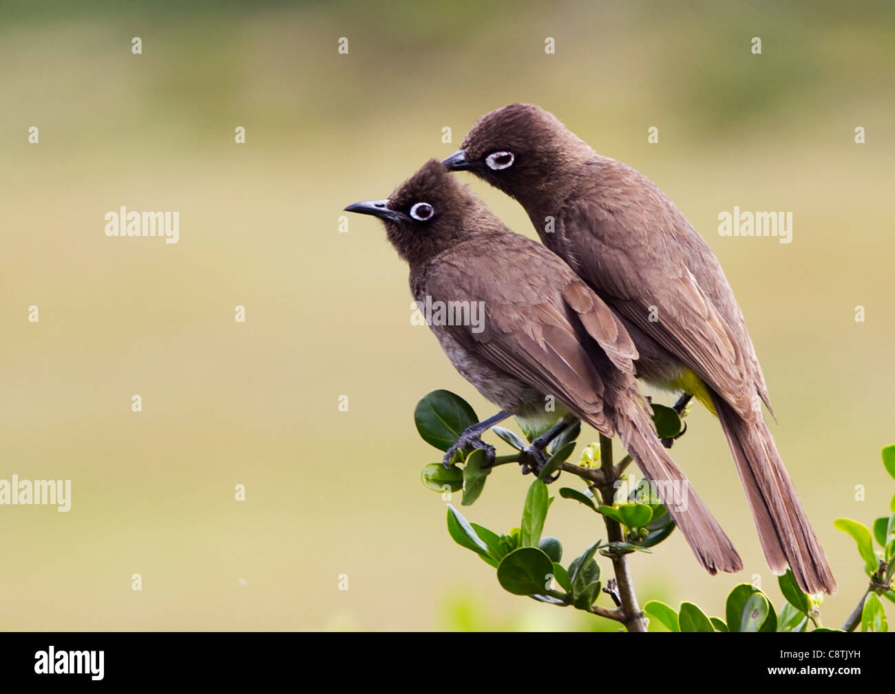 Two Cape bulbuls, Pycnonotus capensis, on branch. Mother preening youngster Stock Photo