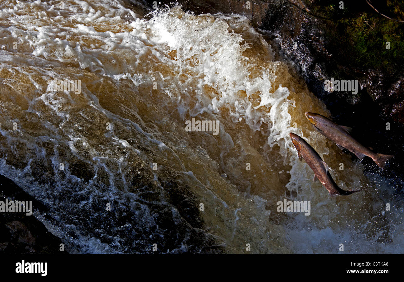 Two wild  Salmon compete for position to leap up the natural salmon leap and waterfall to return to their spawning - Stock Image