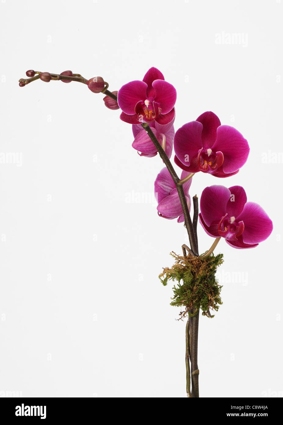 The branch of an orchid plant. Pink phalaenopsis orchid spray - Stock Image