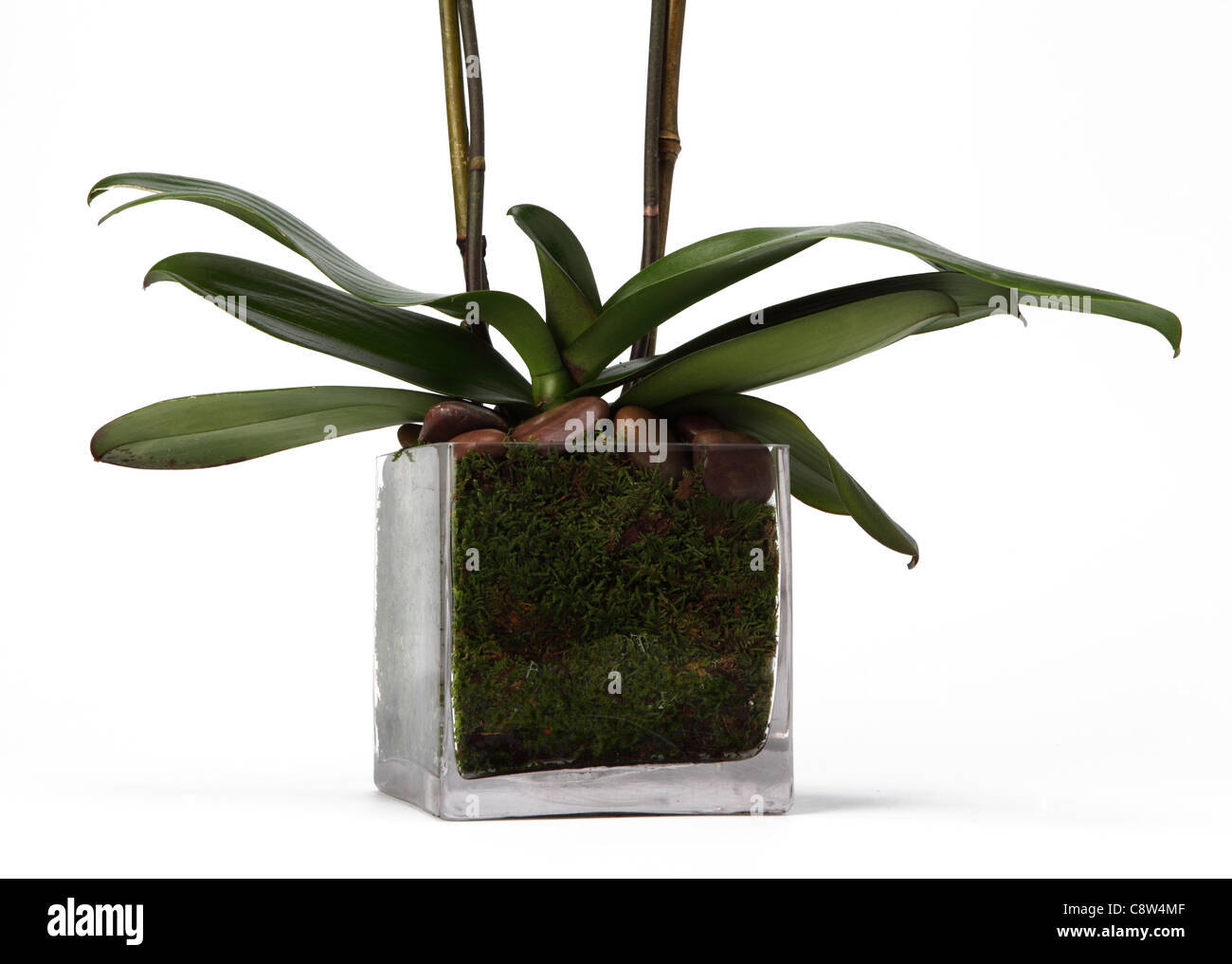 The bottom of an orchid plant in glass vase. - Stock Image