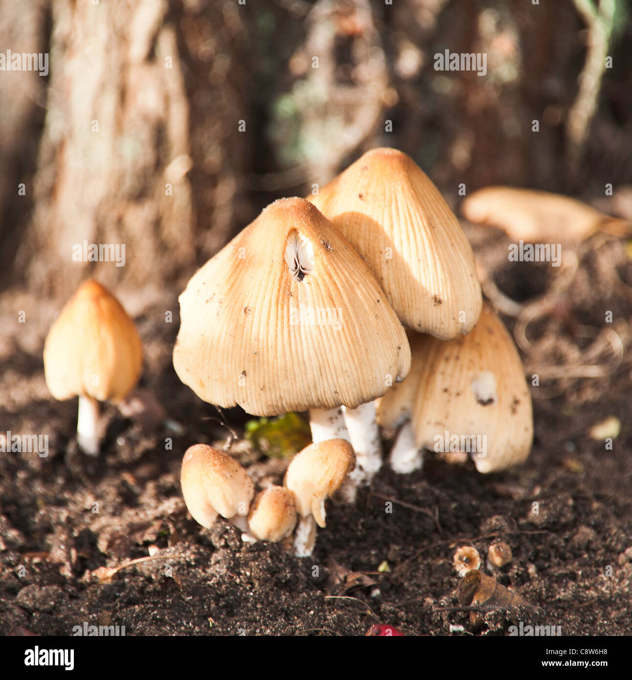 Glistening Ink Cap Mushrooms in a Hedgerow in a Cheshire Garden Alsager England United Kingdom UK - Stock Image