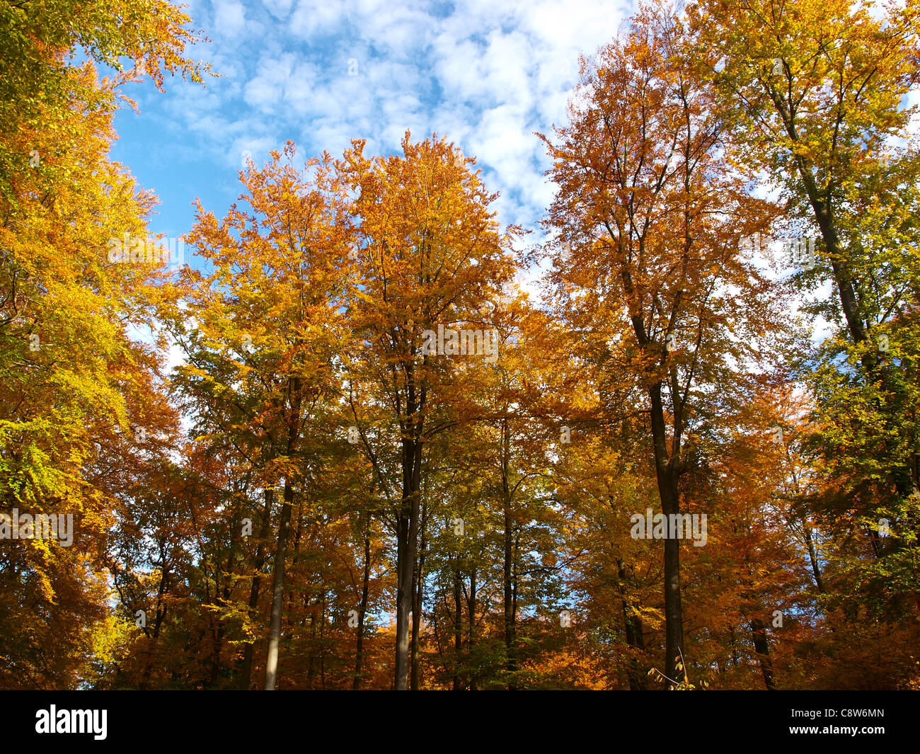 Trees in the Grünewald in Luxembourg, with yellow and orange leaves changing color. - Stock Image