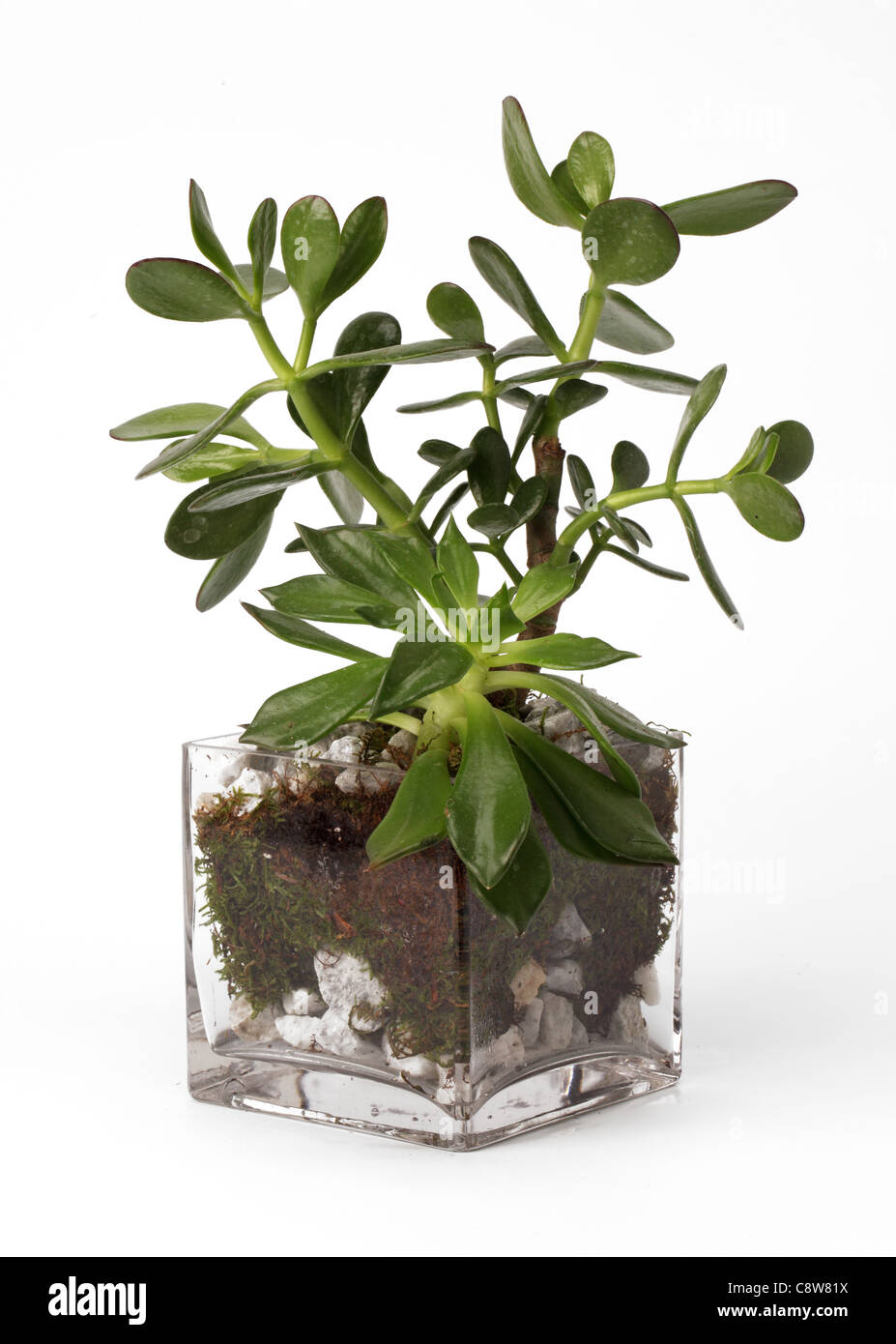 A small plant growing in a glass vase. Jade plant [Crassula ovata] - Stock Image