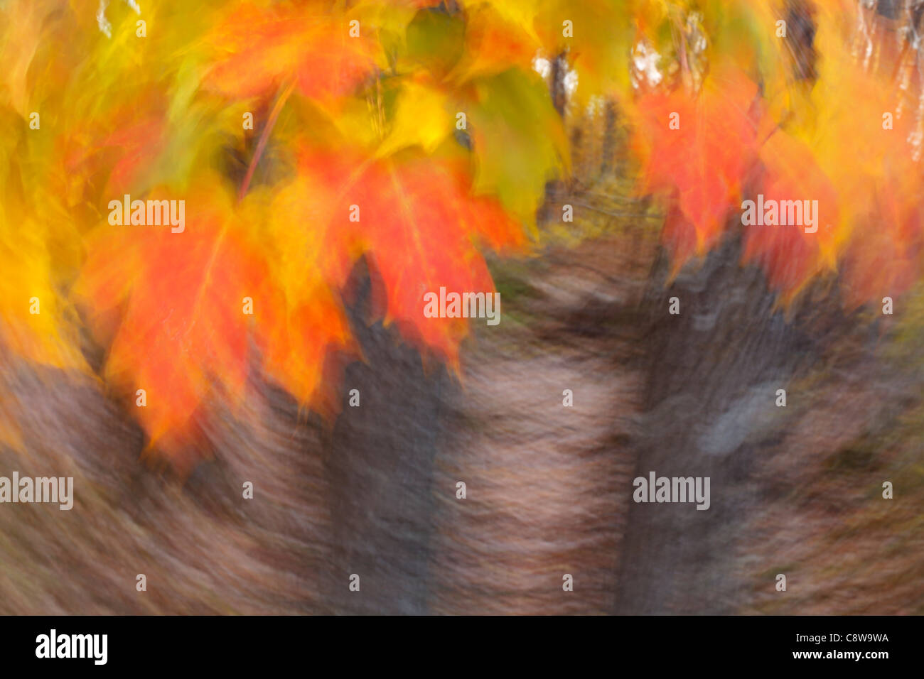Abstract, motion blur view of maple tree leaves in a forest. - Stock Image