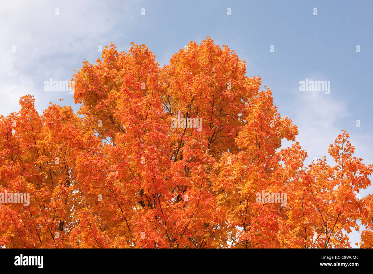 Maple tree leaves turning orange in the fall. - Stock Image