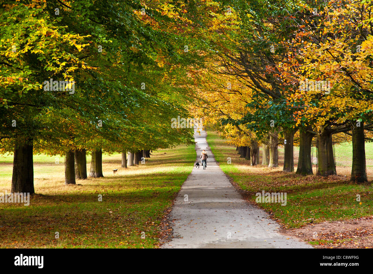 A woman cycling with dog along an avenue of autumn trees on a path at Wollaton Park, Nottingham, Nottinghamshire, - Stock Image