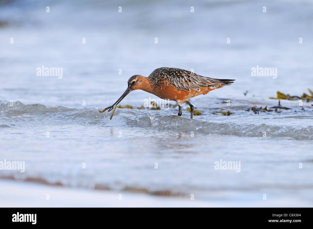 Bar-tailed Godwit (Limosa lapponica) male in breeding plumage, catching lugworm in surf, Varanger, Norway - Stock Image