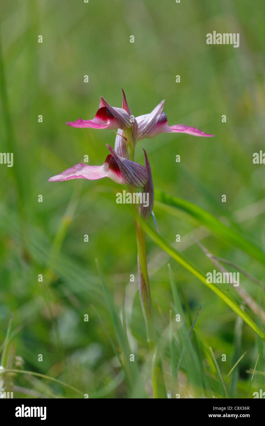 Tongue Orchid (Serapias lingua) flowering. Ariege Pyrenees, France. May. - Stock Image