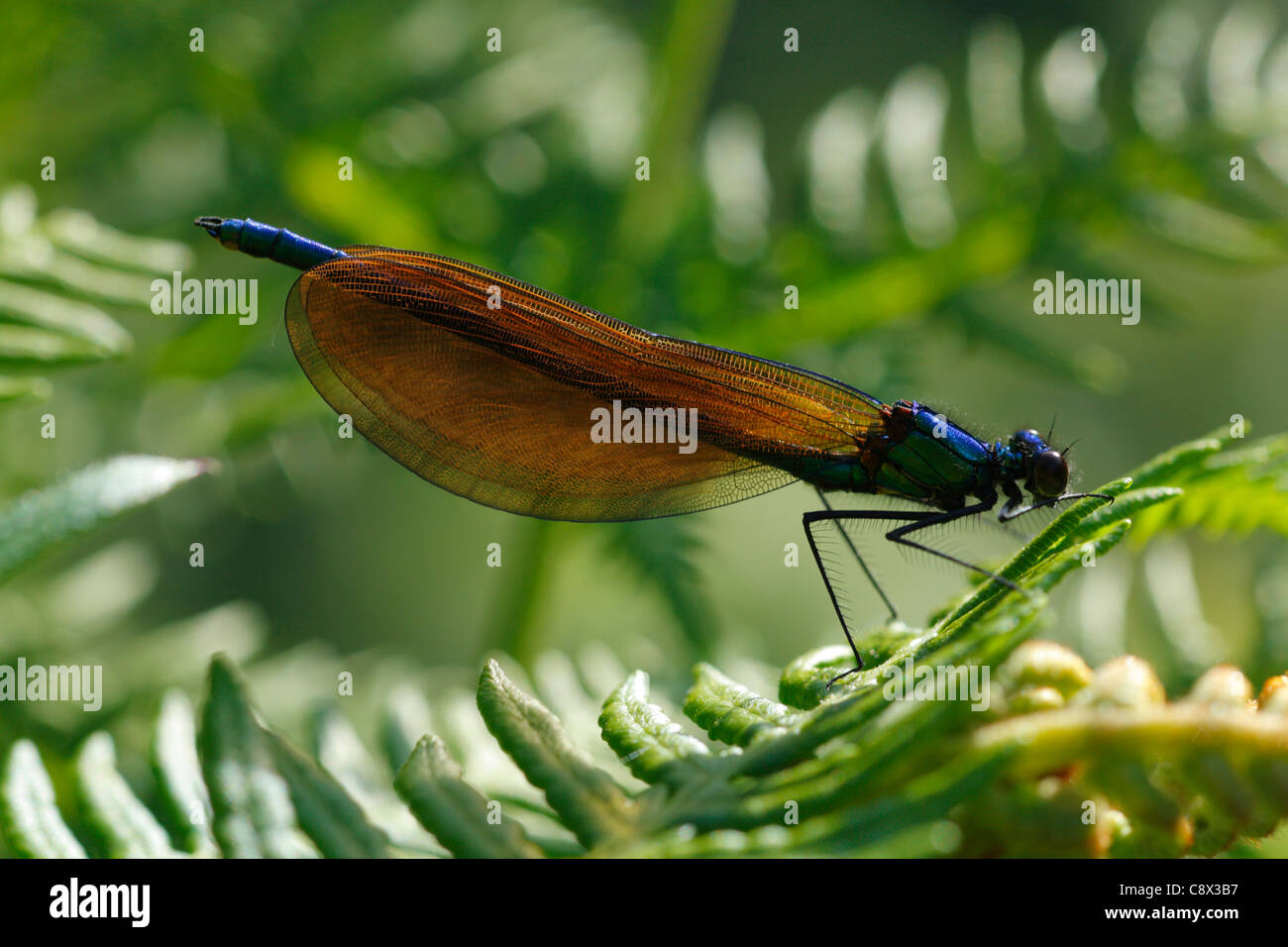 Immature male Beautiful Demoiselle (Calopteryx virgo) resting on bracken. Brittany, France. May. Stock Photo