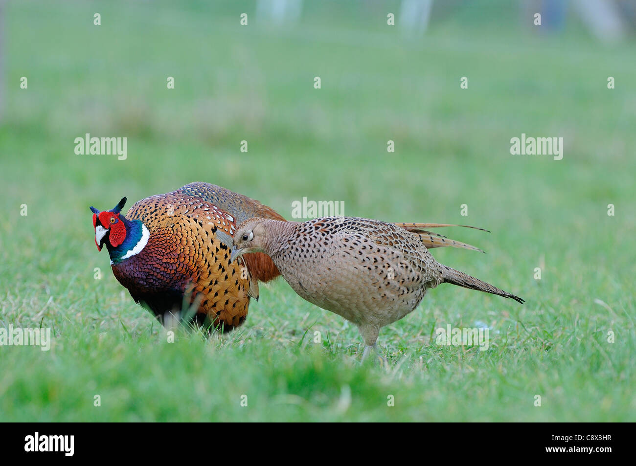 Common Pheasant (Phasianus colchicus) male in courtship display to female, Oxfordshire, UK Stock Photo
