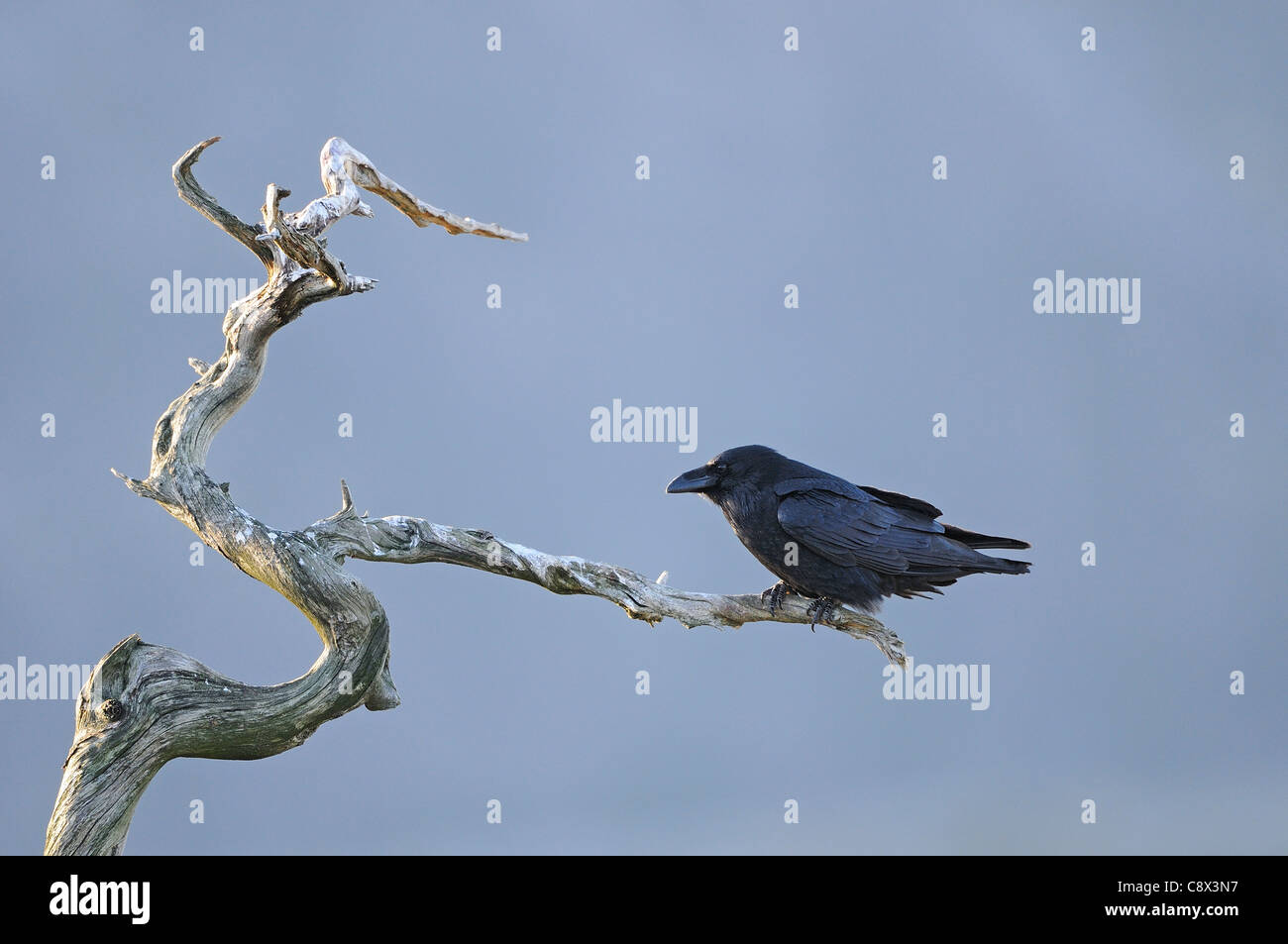 Raven (Corvus corax) perched on dead tree, Norway - Stock Image
