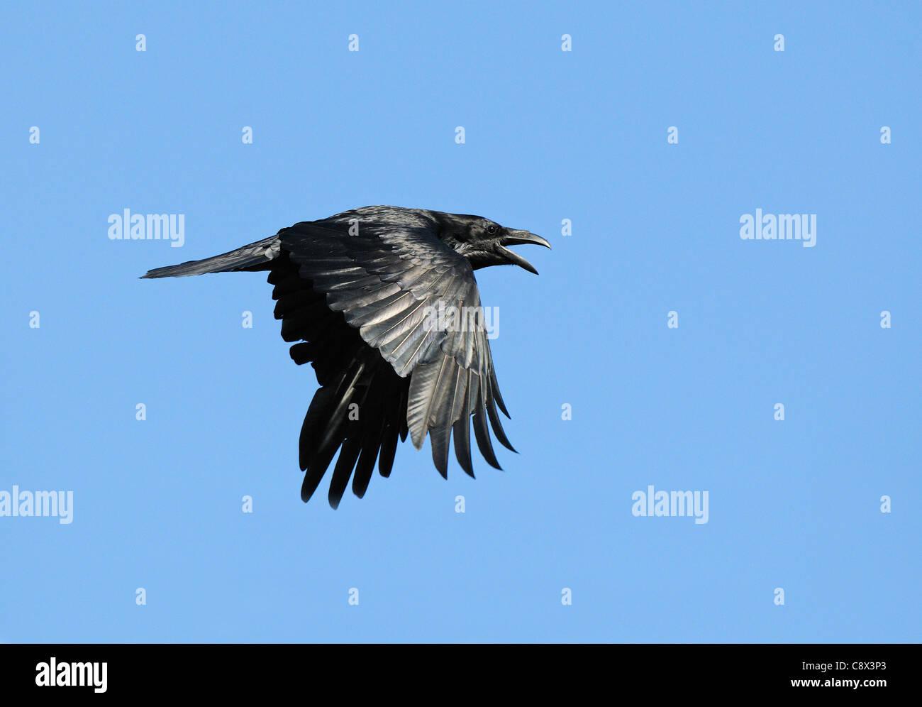 Raven (Corvus corax) adult in flight, calling, Varanger, Norway - Stock Image