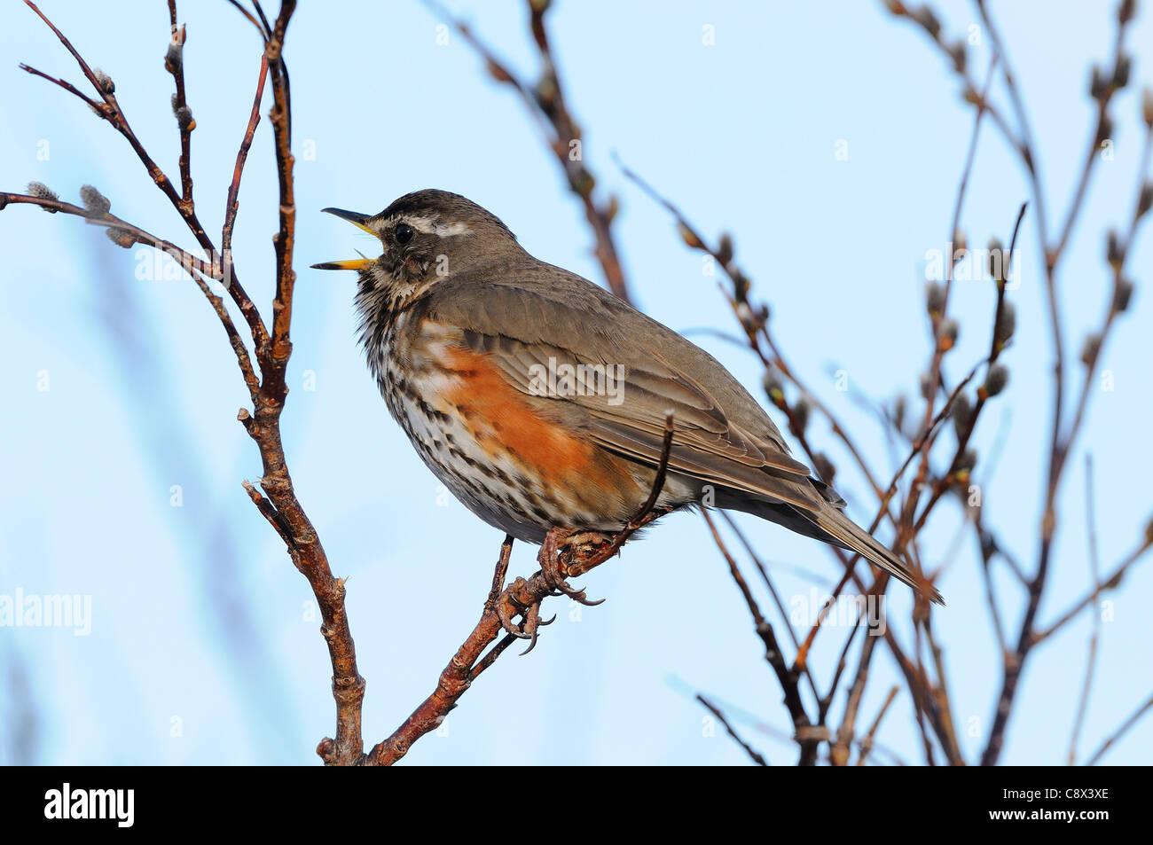 Redwing (Turdus iliacus) adult territorial singing, Varanger, Norway - Stock Image