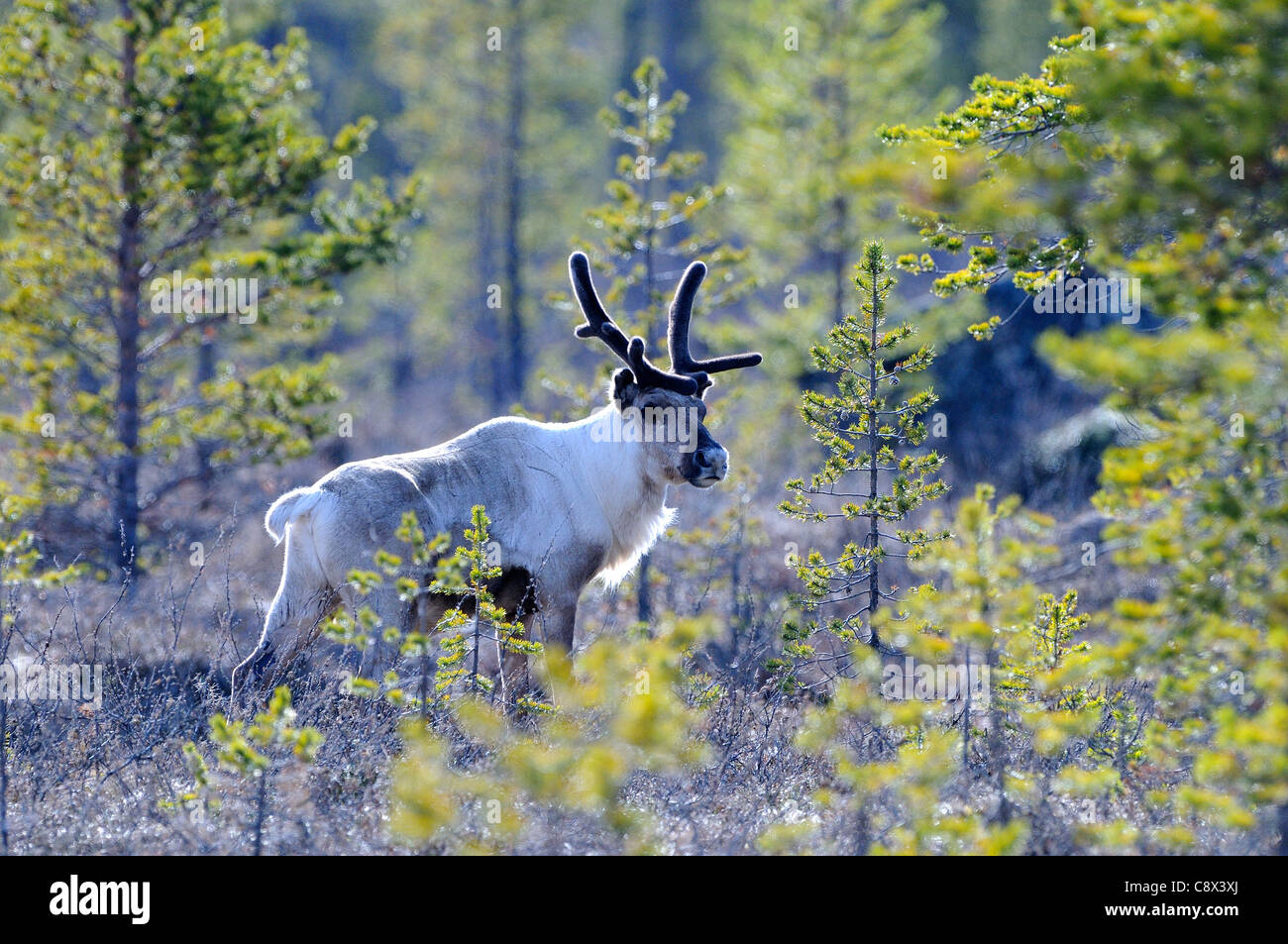 Reindeer (Rangifer tarandus) standing in taiga forest, Finland - Stock Image