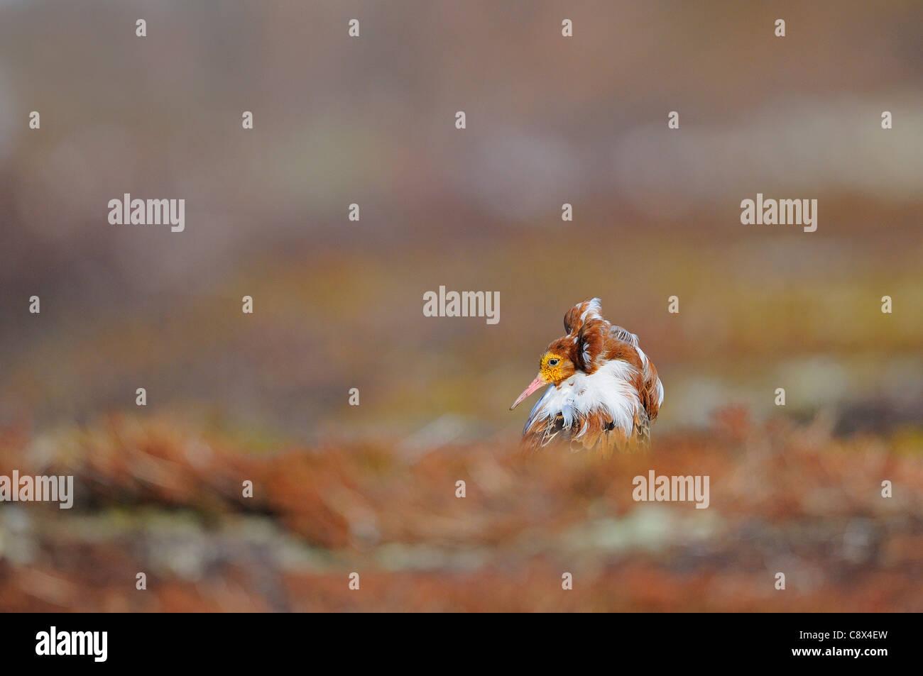 Ruff (Philomachus pugnax) male in breeding plumage, Varanger, Norway - Stock Image